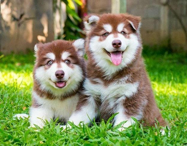 Cách chăm sóc chó Alaska Giant