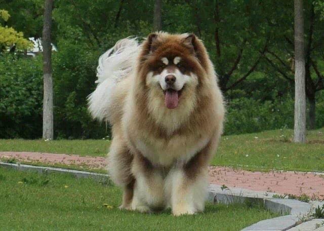 Chó Alaska Giant khổng lồ