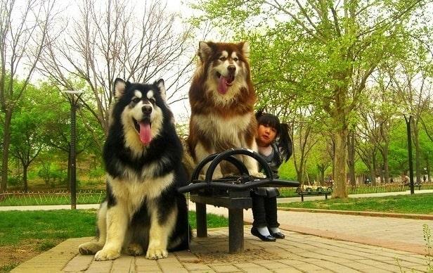 Chó Alaska Giant