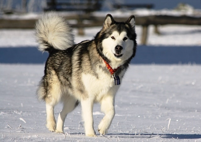 Chó Alaska Malamute