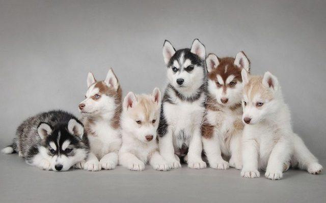 Chó Alaska lai
