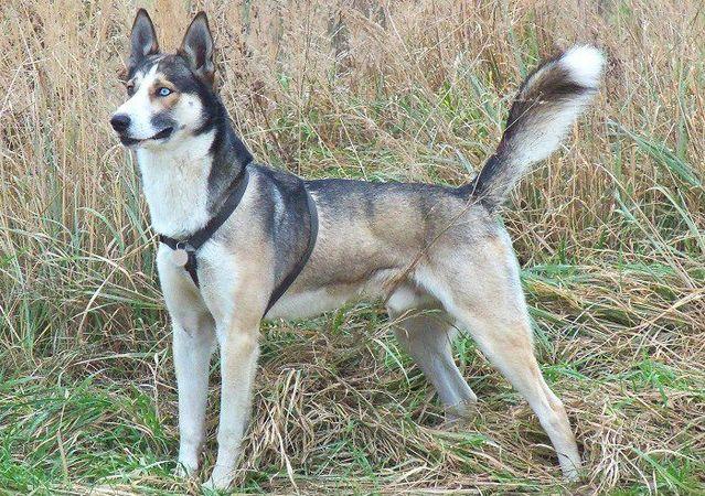 Chó Alaska lai Husky