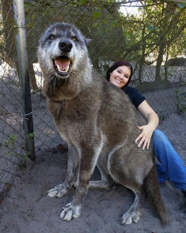 Chó lai sói wolf-hybrid