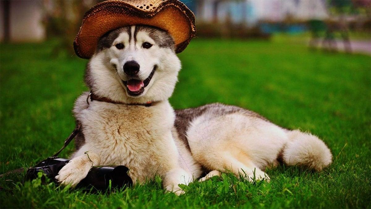 bệnh thường gặp ở chó Alaska