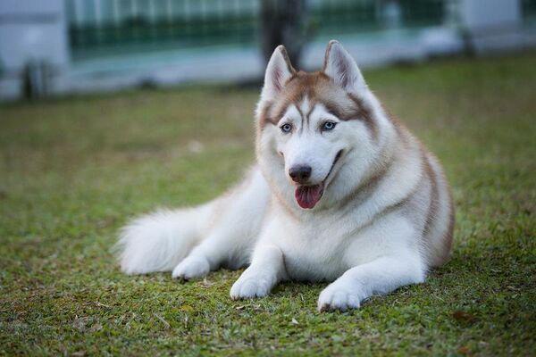 Bộ lông xù dày dặn của chó Husky