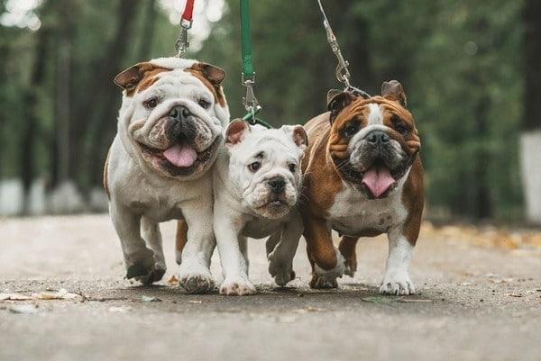 Cách ăn và luyện tập cho chó Bulldog