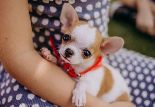 Cách chăm sóc chó Chihuahua