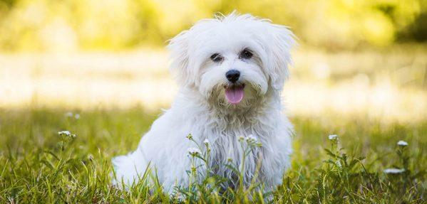 Cách nuôi chó Maltese