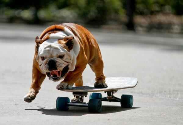 Cách nuôi chó Bulldog