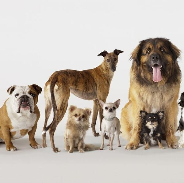 Cách nuôi chó cảnh