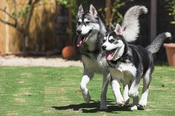 Chó Husky thích chạy nhảy ở không gian rộng rãi