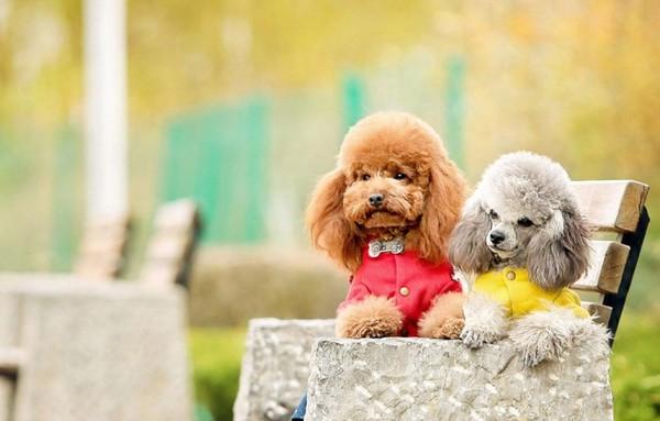 Cách nuôi chó Poodle đúng chuẩn