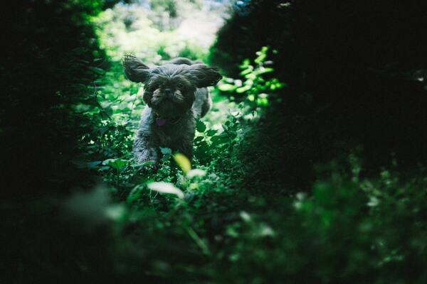 Cách nuôi Poodle tốt nhất