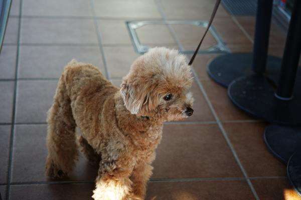 Các đồ dùng khi nuôi chó Poodle