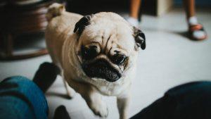 Cách nuôi chó Pug mặt xệ hiệu quả