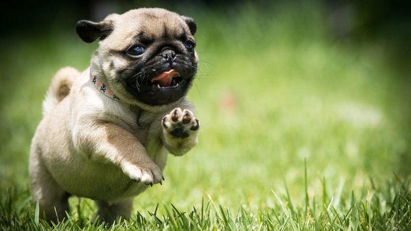 Chó Pug vận động mỗi ngày