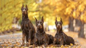 Cách nuôi dạy chó Doberman