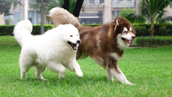 đặc điểm của chó alaska
