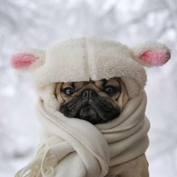 Chăm sóc cho Pug khỏe mạnh