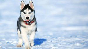 Chó Alaska Malamute thường được gọi là Alaska