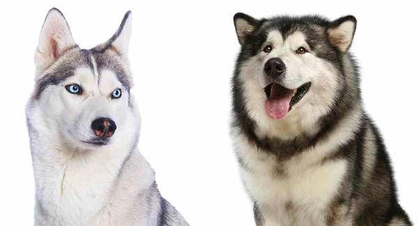 So sáng chó Alaska thuần chủng và husky