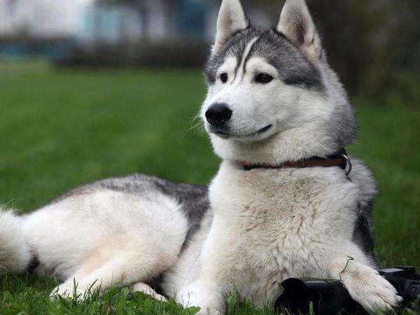 Lưu ý khi chọn chó Alaska