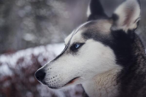 Đặc điểm nhận dạng chó Alaska thuần chủng