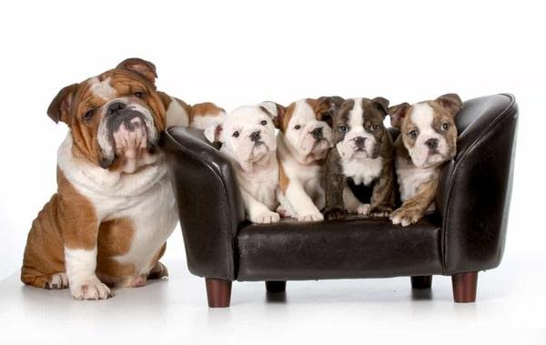 Chó Bulldog và vấn đề sinh nở