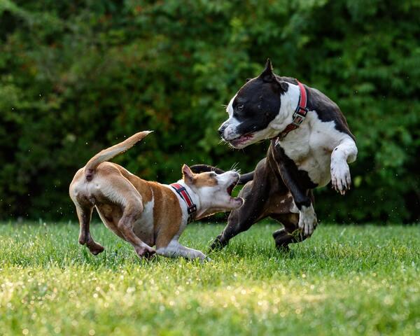 Chú chó Bully American chơi đùa cùng bạn