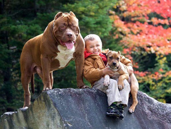 Chó Bully  vui cơi cùng trẻ nhỏ