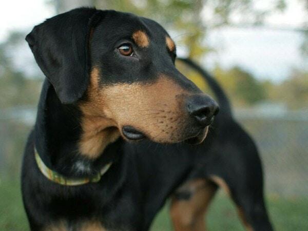 Chó Beagleman lai