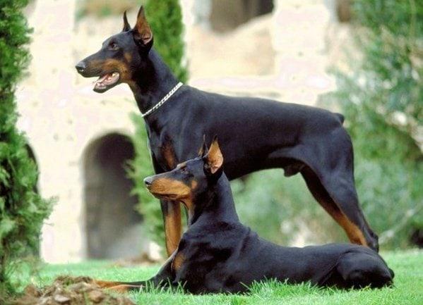 Tính cách chó Doberman