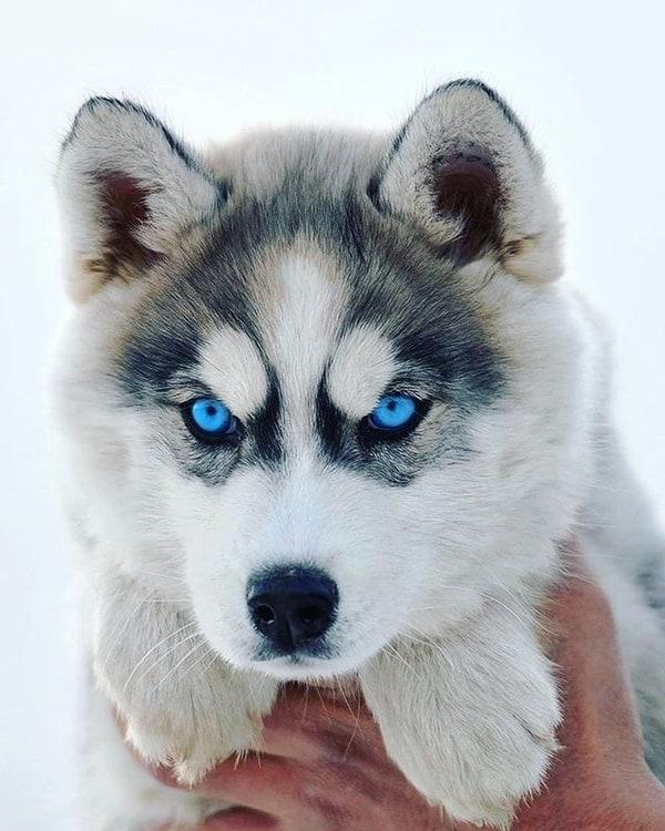 Thú nuôi đặc trưng vùng Siberia