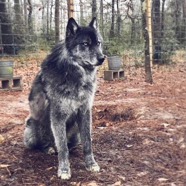 Chó lai sói