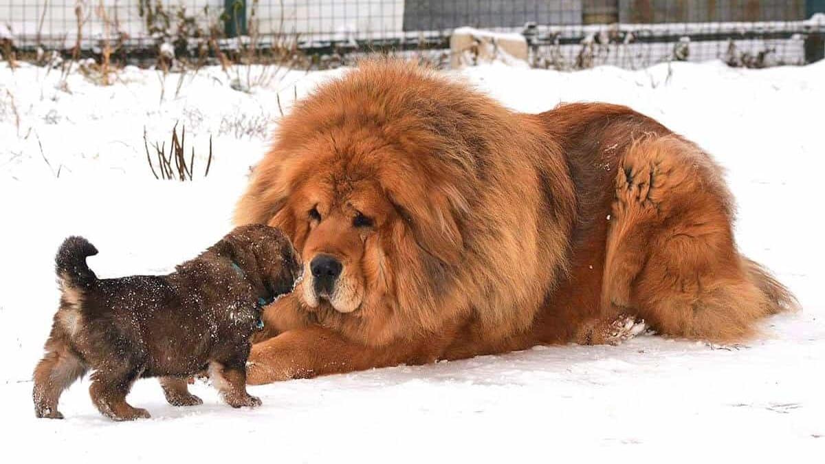 Chó Ngao Tây Tạng