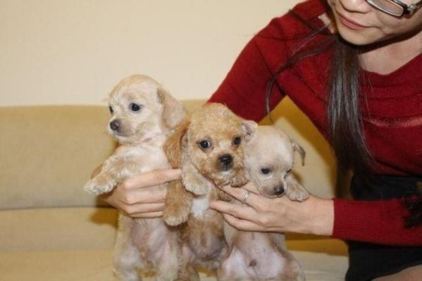 Những chú chó poodle lai đáng yêu