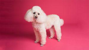 Chó Poodle màu nào đẹp nhất?