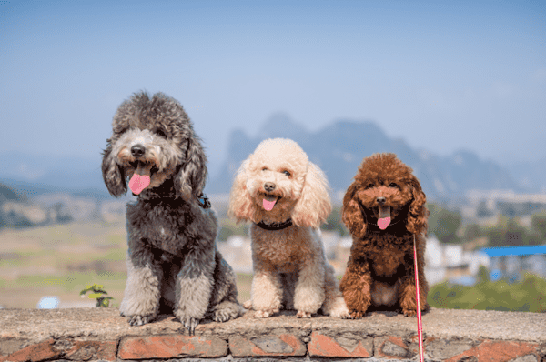 Tìm hiểu về những chú Poodle