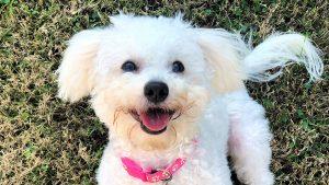 Chó Poodle thuần chủng - Đặc tính và cách nhận biết