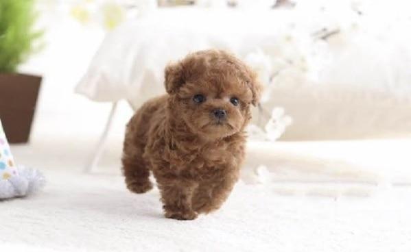 Yếu tố quyết định giá chó Poodle