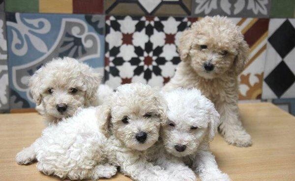 Toy Poodle trắng