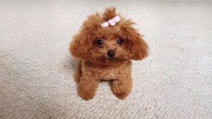 Chó Tiny Poodle