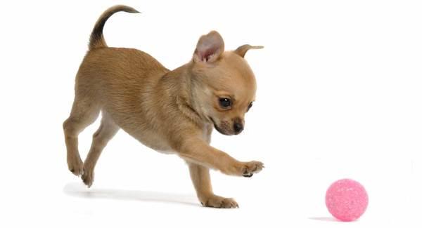 Chó toy Chihuahua