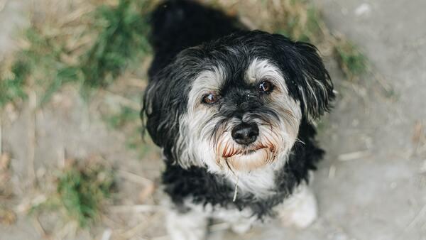 Toy Poodle, chú chó bông đáng yêu