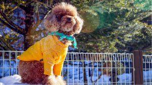 tìm hiếu chú chó toy Poodle