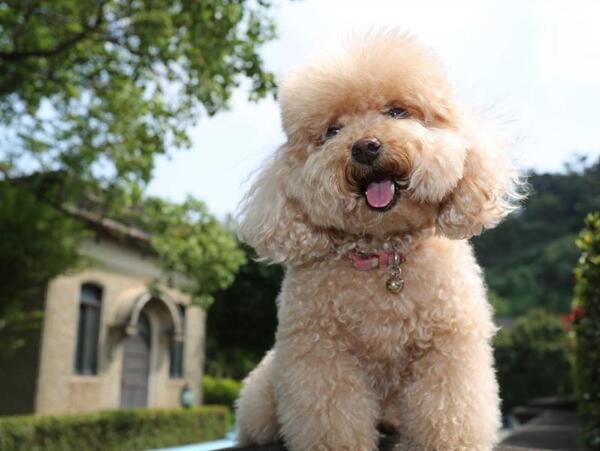 Toy Poodle rất thông minh và trung thành