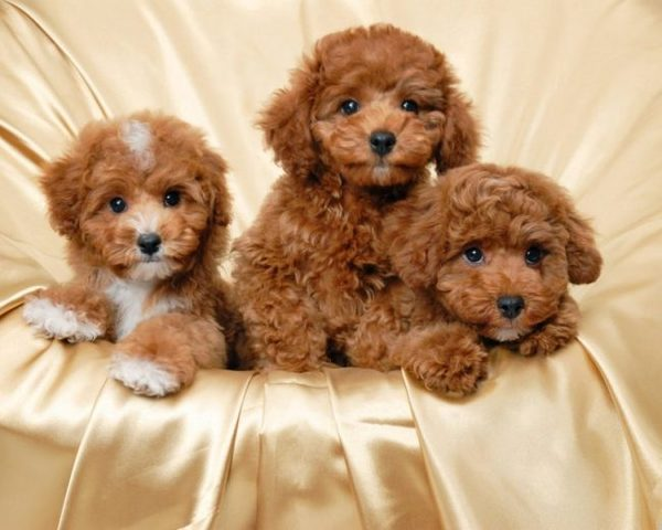 Mức giá Toy Poodle