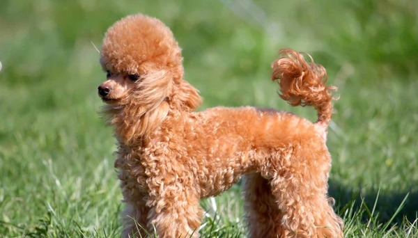 Toy Poodle nhập khẩu