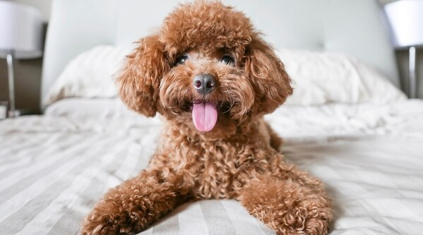 Nguồn gốc toy poodle