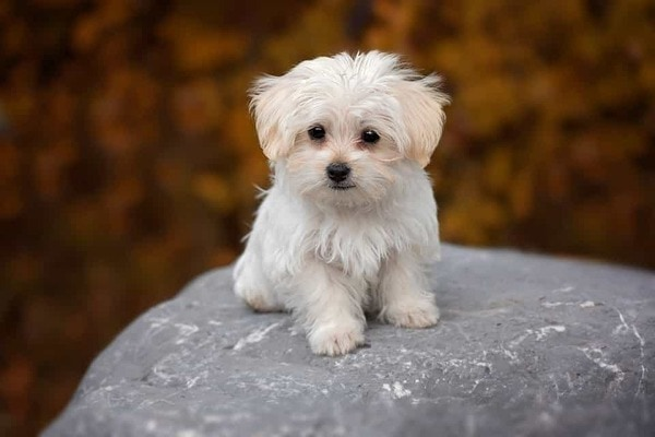 Đặc điểm ngoại hình của chó Maltese